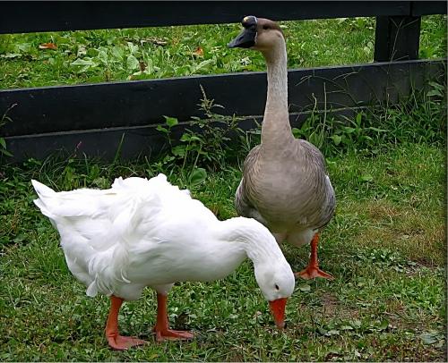 фото линдовские гуси